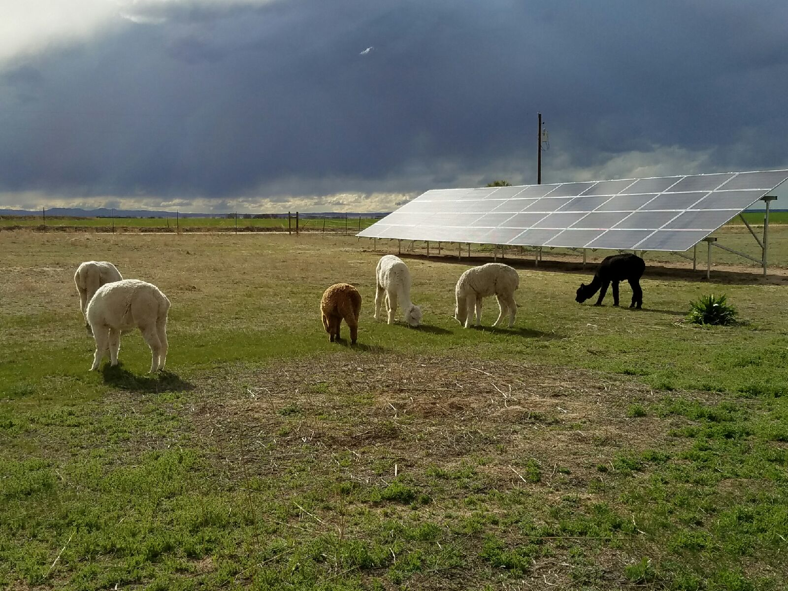 Colorado_solar_power_alpacas